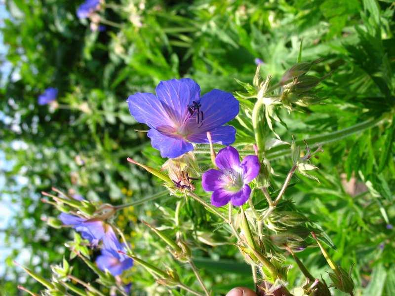 Растение голубика садовая описание сортов и фото